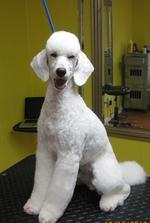 Shampoodles Dog Grooming